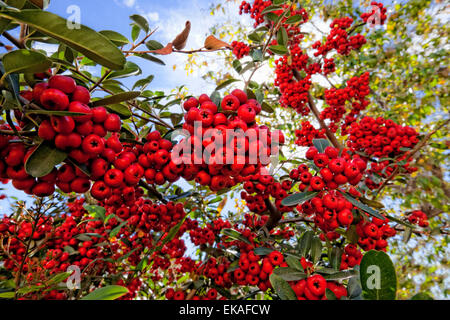 Pyracantha (berries) is a genus of thorny evergreen large shrubs in the family Rosaceae, with common name firethorn - Stock Photo