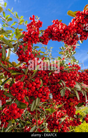 Pyracantha (berries) is a genus of thorny evergreen large shrubs in the family Rosaceae, with common names firethorn - Stock Photo