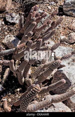 Spruce Cone Cactus, Tephrocactus articulatus var. inermis, Opuntia - Argentina - Stock Photo