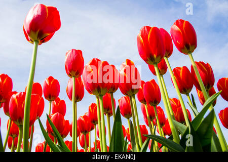 Tall red tulips blooming against a brilliant sunny blue sky in early spring. - Stock Photo