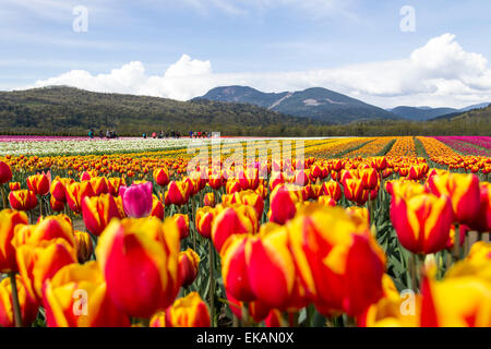 Field of beautiful colorful tulips in rainbow of colors at tulip farm with mountains in background - Stock Photo