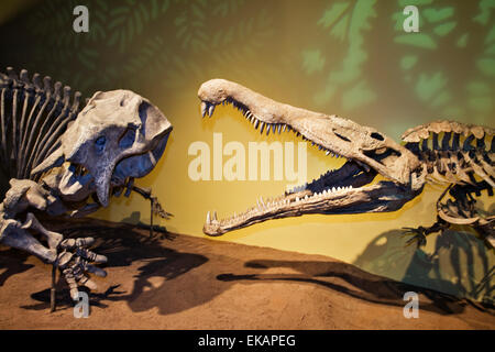 A pair of dinosaurs clash once more in a diorama at the New Mexico Museum of Natural History & Science in Albuquerque. - Stock Photo