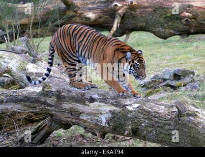 Female Sumatran tiger (Panthera tigris sumatrae) walking on a fallen tree - Stock Photo