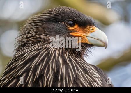 Adult striated caracara (Phalcoboenus australis), known locally as a Johnny Rook, Carcass Island, Falkland Islands - Stock Photo