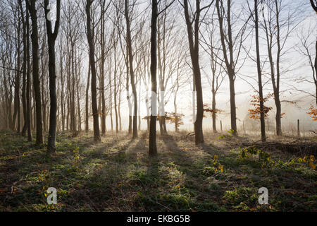 Misty wood in winter, Stow-on-the-Wold, Gloucestershire, Cotswolds, England, United Kingdom, Europe - Stock Photo