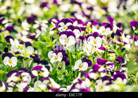 Beautiful pansy flowers in garden - Stock Photo