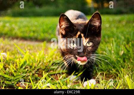 Hungry  Calico cat - Stock Photo