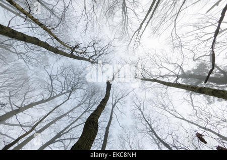 light early morning mist in tree canopy of British deciduous woodland birch beech oak sweet chestnut towering trunks - Stock Photo