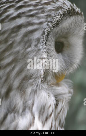 Close-up of a snowy owl - Stock Photo