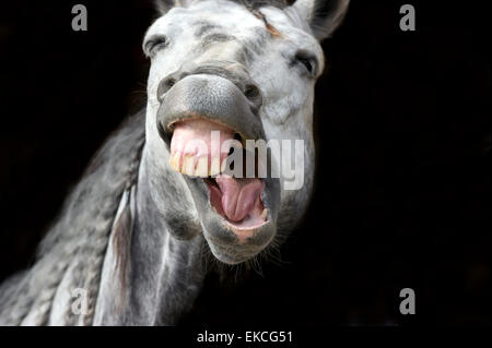 Funny happy white horse is laughing against a dark black background. - Stock Photo