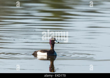 Tufted duck swimming in the lake - Stock Photo