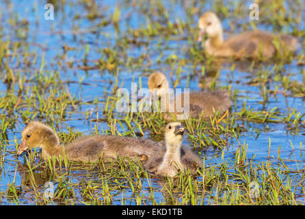 Greylag Goose  goslings swimming in the lake and eating grass - Stock Photo