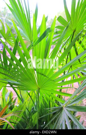 Chit Palm ree leaves in Yucatan rainforest mexico - Stock Photo