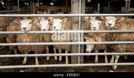 Sheep in a pen at a sheep market, Hawes, Yorkshire Dales, North Yorkshire England UK - Stock Photo