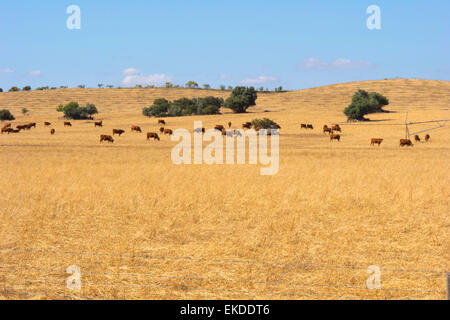 Cows and cork oaks on a cut wheat field in the Alentejo plains. Portugal. - Stock Photo