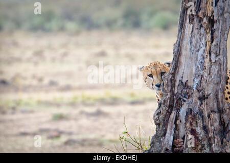 Young Cheetah,  Acinonyx  jubatus, hiding and peeking from behind a tree in the Masai Mara, Kenya, East Africa - Stock Photo