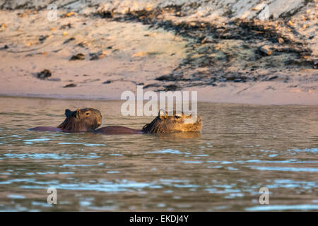 Wild, adult female Capybara, Hydrochaeris hydrochaeris, swimming with her pup on her back in a river in the Pantanal, - Stock Photo