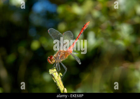 Ruddy Darter - Sympetrum sanguineum - Stock Photo