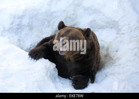 Grizzly bear (Ursus arctos horribilis) emerging from its hole in the snow after hibernation - Stock Photo