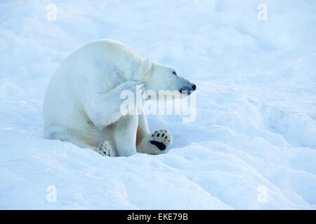 Polar bear (Ursus maritimus) scratching and cleaning itself in the snow - Stock Photo