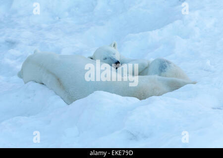Polar bear (Ursus maritimus) male and female bears sleeping together during mateing season - Stock Photo