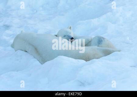 Polar bear (Ursus maritimus) male and female bears sleeping together during mateing season
