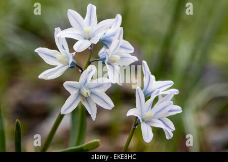 Blue striped pale flowers of the striped or Russian squill, Puschkinia scilloides var. 'libanotica' - Stock Photo