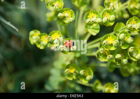 Small ladybird on a spring flower - Stock Photo