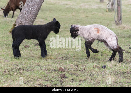 A black and a black faced white lamb practice butting in an apple orchard in early spring in Glastonbury - Stock Photo