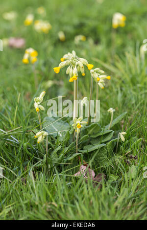 Common cowslip, Primula veris, growing in springtime in Surrey, UK - Stock Photo