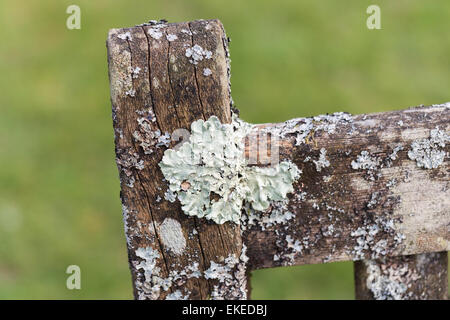Attractive close-up image of textured crustose lichen (macrolichen) growing on an old decaying wooden seat, Surrey, - Stock Photo