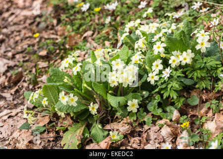 Pretty yellow wild primroses, Primula vulgaris, growing in brown fallen oak leaves in woodland in springtime, Surrey, - Stock Photo