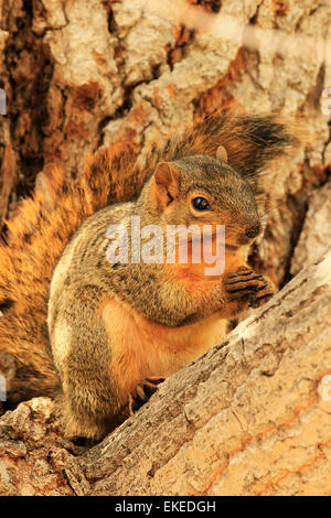 Eastern Fox Squirrel (Sciurus niger) sitting on a tree - Stock Photo