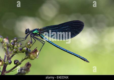 Beautiful Demoiselle - Calopteryx virgo - male - Stock Photo