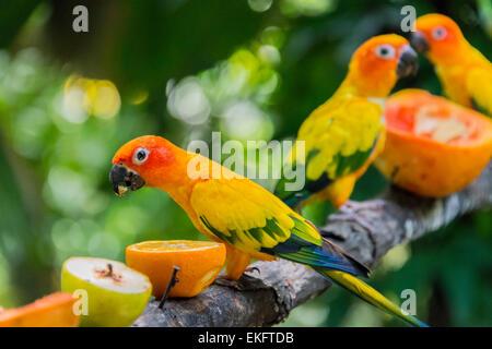 Sun parakeet or sun conure Aratinga solstitialis - Stock Photo