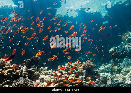 Lyretail anthias or Goldies (Pseudanthias squamipinnis) on reef top.  Egypt, Red Sea. - Stock Photo