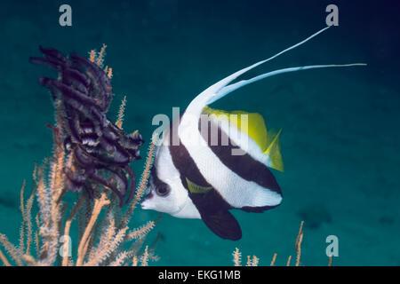 Longfinbannerfish (Heniochus acuminatus).  Andaman Sea, Thailand. - Stock Photo