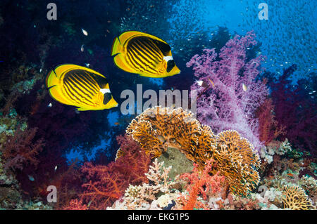 Coral reef scenery with Red Sea raccoon butterflyfish [Chaetodon fasciatus] and soft corals (Dendronephthya sp). - Stock Photo