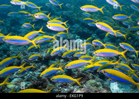 Yellowback fusilier [Caesio xanthonota] school over coral reef.  Maldives. - Stock Photo
