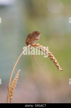 Solitary harvest mouse on wheat - Stock Photo