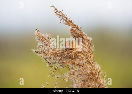 Harvest mouse on wheat - Stock Photo