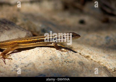 Iberian Wall Lizard  or  Podarcis hispanica, a small wall lizard species of the genus Podarcis found in the Iberian - Stock Photo