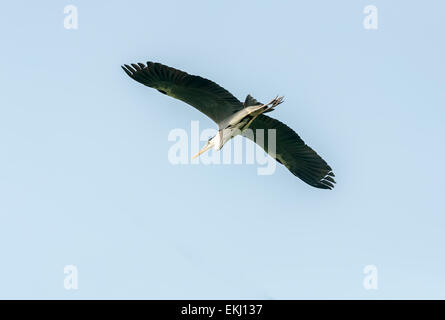 Bird, Grey Heron, Ardea cinerea in flight, isolated against blue sky with copy space - Stock Photo