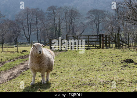 A herdwick ewe near Rosthwaite in Cumbria, England on a sunny spring day - Stock Photo