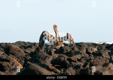 Pelican and Volcanic lava rock, Isabela Island, Galapagos Islands, Ecuador, South America - Stock Photo