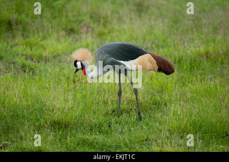 Portrait of Crowned crane standing in green grasses - Stock Photo
