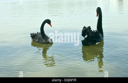 graceful birds - a pair of black swans. - Stock Photo