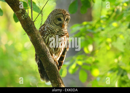 Barred owl (Strix varia) sitting on a tree. Barred owl is best known as the hoot owl for its distinctive call - Stock Photo
