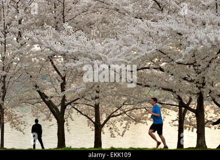 Washington, DC, USA. 10th Apr, 2015. The cherry trees are seen around the Tidal Basin in Washington, DC, capital - Stock Photo