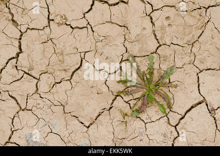 Cracked dry earth, with plant growing out of crevice, drought on the ground, Spain - Stock Photo